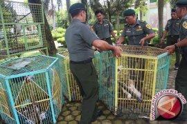 BKSDA Kalteng Tangkap Tiga Penjual Anak Burung Elang