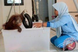 Dua Bayi Orangutan Sumatera Menetap Sementara Di Thailand (Video)