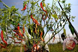 Petani Gunung Kidul keluhkan anjloknya harga cabai