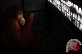 Pemberi rokok ke orangutan dituntut minta maaf