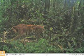 BBKSDA Riau selidiki temuan jejak harimau sumatera
