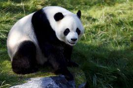 Tiongkok bangun taman nasional untuk panda raksasa