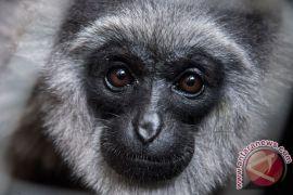 Bali Zoo siap lepasliarkan Owa Jawa