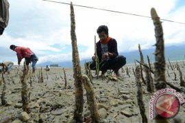 Pasca tsunami, Pemkot  tanam 1.000 bibit mangrove di Teluk Palu