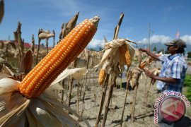 DPRD Kaltim dorong perluasan lahan tanaman jagung