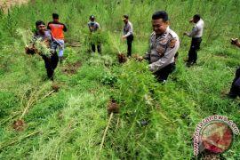 BNN ajak petani ganja di Aceh beralih ke tanaman produktif