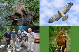 Peneliti IPB Kaji Habitat Sikep Madu Asia Dan Elang Jawa Untuk Pelestariannya