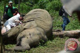 Seekor gajah mati di Aceh, satu gadingnya diambil