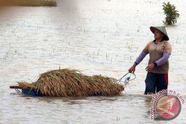 Banjir matikan padi di ratusan Hektare sawah