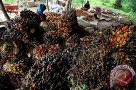 PPKS prediksi penjualan benih sawit 21 juta pohon
