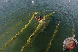 Pembibitan Rumput Laut