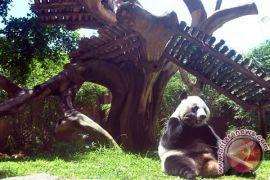 Sehari panda di Taman Safari habiskan 30 kg bambu