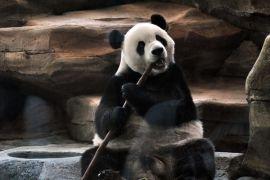 Dua panda raksasa akan sapa warga Indonesia bulan ini