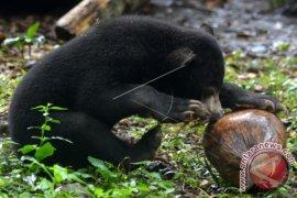 Populasi Beruang Madu Sekitar Seribu Ekor