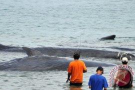 Mati, ratusan paus terdampar di Australia