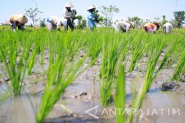 Petani di Tulungagung Kekurangan Stok Pupuk Bersubsidi