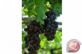 Jestro Ag60: Anggur Tanpa Biji dari Balitbang Pertanian