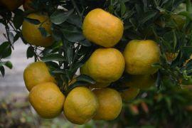 Bujangseta mampu buahkan jeruk sepanjang tahun
