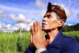 Padi hibrida lebih menggiurkan bagi petani Tabanan
