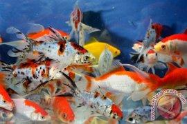IPB Teliti Medan Listrik pada Perkembangan Gonad Ikan Komet