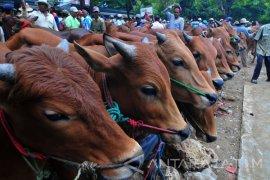 Pedagang sapi Malut kewalahan penuhi permintaan antarpulau