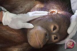 Pemeriksaan Orangutan