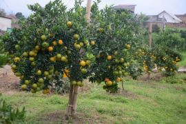 Pikung, percepat jeruk berbuah