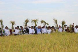 Perluasan tambah tanam padi 2017 bawa berkah panen di Sumsel tahun ini