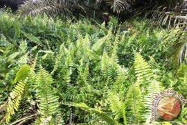 Peneliti IPB Jelaskan Peran Gulma Pakis Sebagai Tanaman Penutup Tanah Di Perkebunan