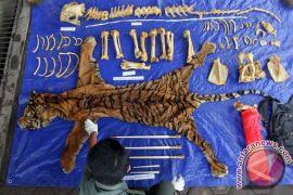 Polres Mukomuko kembangkan kasus perdagangan kulit harimau sumatera