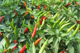 Hottest Hiyung chili improves local people's economy