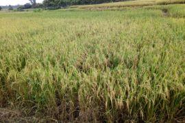 Teknologi Jarwo Super lipat gandakan produksi padi di Poso