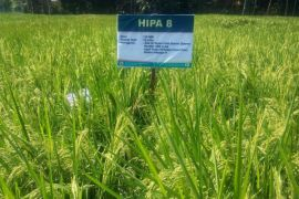 Padi Hibrida diminati petani pesisir Pantai Selatan Pulau Jawa