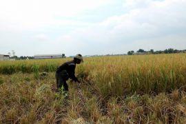"""""""Air"""" dari pemerintah untuk Tanjungpura optimalkan panen"""