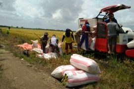 Sehari, ribuan hektare sawah Banyuasin dipanen siap pasok beras Sumsel