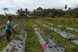 Cabai petani Nagan Raya rusak akibat cuaca