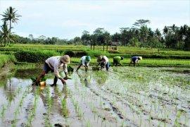 Dua orang tewas tersambar petir saat panen padi