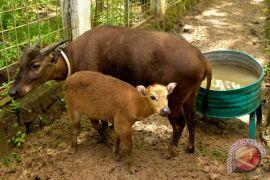 BP2LHK Manado, untuk ketiga kalinya anak anoa lahir normal