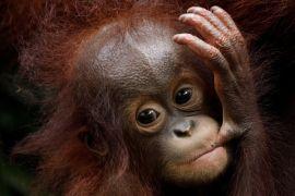 BKSDA siap identifikasi keberadaan orangutan di Wajok Hilir
