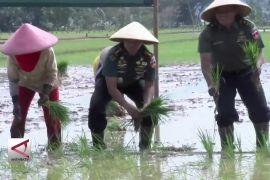 Totalitas TNI Dampingi Petani Produksi Padi