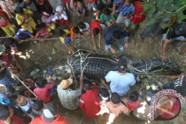 Buaya di Sungai Mentaya kembali resahkan warga