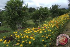 Balitbangtan manfaatkan tagetes untuk kendalikan hama jeruk