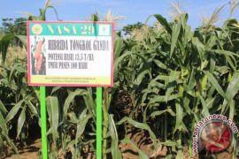 Balitbang Pertanian lepas 39 varietas jagung hibrida