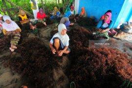 Buruh Ikat Rumput Laut