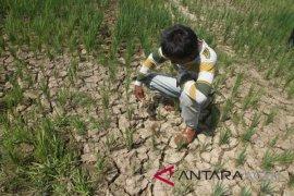 Tanaman padi di Aceh Barat kekeringan