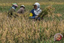 Nilai tukar petani Kalsel turun 0,68 persen