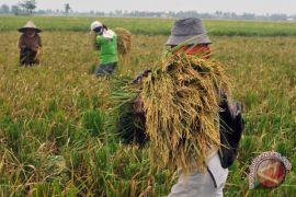 Panen raya di Cianjur, harga beras turun