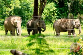25 hektare kebun sawit dirusak gajah