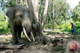 Gajah tersesat di Subulussalam akan dipindahkan dengan helikopter