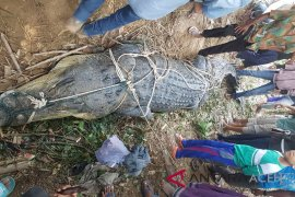 Warga Aceh Tamiang tangkap buaya 2,5 meter